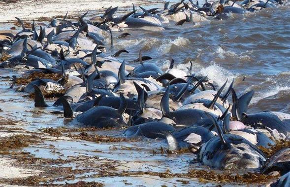 Masiva muerte de aves y delfines en Malvinas Ballenas_muertas